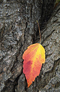 Southern Indiana Autumn Prints - Transient Beauty - D008649 Print by Daniel Dempster