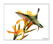 Birders Framed Prints - Translucent Wings Framed Print by David Perry Lawrence