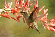 Hummingbird Photos - Translucent Wings by Donna Kennedy