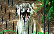 Catamount Posters - Trapped in A Cage Poster by Aimee L Maher