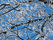 Snow Tree Prints Prints - Trapped In The Ice Print by Denise Mazzocco