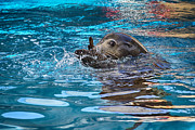 Sea Lions Photos - Treading Water V2 by Douglas Barnard