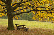Autumn Colours Posters - Tree and bench in fall Poster by Matthias Hauser