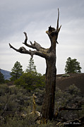 David Gordon - Tree at Lava Trail