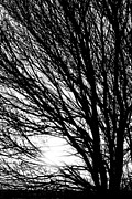 James Insogna Posters - Tree Branches and Light Black and White Poster by James Bo Insogna