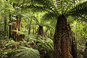 Rain Forest Framed Prints - Tree ferns Framed Print by Les Cunliffe