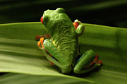 Tree Creature Prints - Tree Frog 11 Print by Bob Christopher
