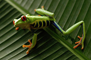 Frog Photo Metal Prints - Tree Frog 16 Metal Print by Bob Christopher