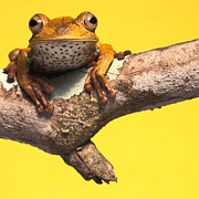 Rainforest Metal Prints - Tree Frog Background With Copy Space Metal Print by Dirk Ercken
