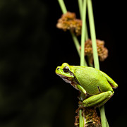 Wildlife Conservation Posters - Tree frog crawling Poster by Dirk Ercken