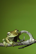 Fauna Metal Prints - Tree Frog Metal Print by Dirk Ercken