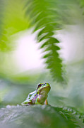 Wildlife Conservation Posters - tree frog Hyla arborea Poster by Dirk Ercken