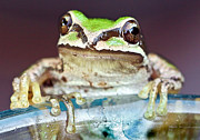 Jeannoren Photos - Tree Frog by Jean Noren