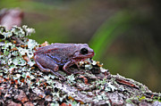 Anura Art - Tree Frog on an Old Log by Al Powell Photography USA