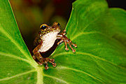 Anura Art - Tree Frog On Leaf by Dirk Ercken