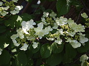 My Back Yard Prints - Tree Hydrangea Print by Nancy Kane Chapman