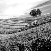 Spaces Prints - Tree in a mowed field. Auvergne. France Print by Bernard Jaubert