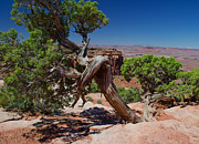 David Hintz - Tree In Canyonlands