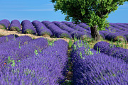 Crop Lines Art - Tree in Lavender by Brian Jannsen