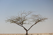 Old Tree Photographs Prints - Tree in the Desert Print by Shyam Job