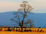 Shenandoah Valley Posters - Tree in the Field Poster by Joyce  Kimble Smith