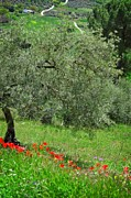 Olive Tree Posters - Tree in the Meadow near Ronda  Poster by Mary Machare