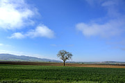 Cereal Plant Framed Prints - Tree isolated in agricultural landscape. Auvergne. France. Framed Print by Bernard Jaubert