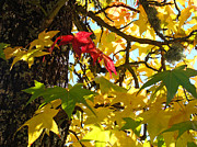 Autumn Art Prints - Tree Leaves Art Prints Yellow Green Red Autumn Print by Baslee Troutman Nature Photography Art