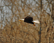 Eagle Photos - Tree Line Flight by Jai Johnson