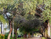 Debb Starr - Tree Lined Street in...
