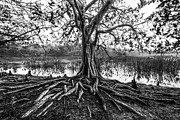 Tree Roots Photo Prints - Tree of Life Print by Debra and Dave Vanderlaan