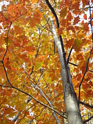 Photos Of Autumn Photo Metal Prints - Tree of Orange Metal Print by Guy Ricketts