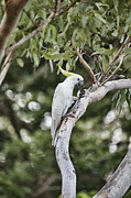 Cockatoo Metal Prints - Tree of Treats Metal Print by Douglas Barnard