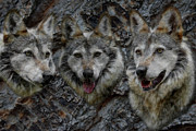 Dogs Digital Art Metal Prints - Tree of Wolves Metal Print by Ernie Echols