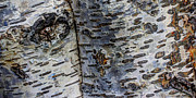 Bark Design Photos - Tree People by Heidi Smith