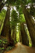 Tree Redwood Ca 3 Print by John Brueske