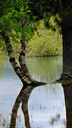 Tree Reflections Prints - Tree Reflection Print by Kae Cheatham