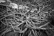 Tree Roots Photos - Tree Remains by Charline Xia