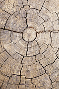 Tree Trunk Pyrography Posters - Tree Rings Poster by Gillian Dernie