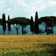 Cereals Framed Prints - Tree Row in Tuscany Framed Print by Heiko Koehrer-Wagner