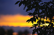 Yellow. Leaves Posters - Tree silhouette over sunset Poster by Elena Elisseeva