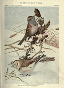 Cities Drawings Prints - Tree Sparrow and Snow Bunting Print by Louis Agassiz Fuertes