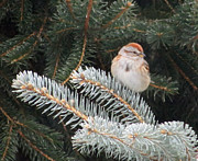 Sandra LaFaut - Tree Sparrow on Pines