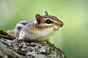 Cute Chipmunk Prints - Tree Surfing Chipmunk Print by Christina Rollo