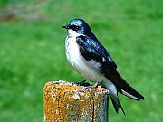 Tommytroutphoto Prints - Tree Swallow 3 Print by Thomas Young