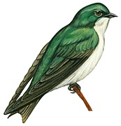 Birds Drawings - Tree swallow  by Anonymous