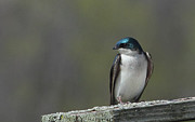 Tree Swallow  Print by James Hammen
