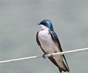 Kathy Rinker - Tree Swallow