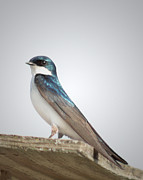 Bird Posters - Tree Swallow Portrait Poster by Anita Oakley