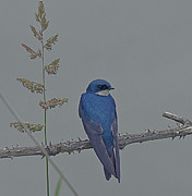Rob Mclean  - Tree Swallow